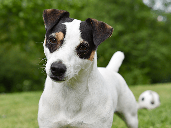 random-img_dog-jack-russell.png